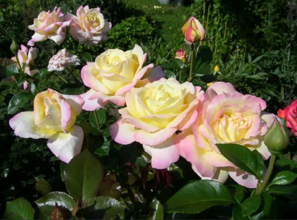 Роза глория дей: описание сорта, посадка и разведение, применение в ландшафтном дизайне