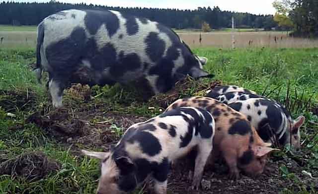 Миргородская порода свиней: характеристика, плюсы и минусы, содержание