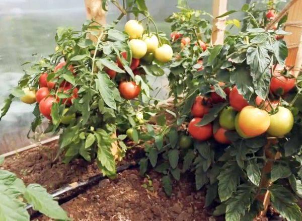 Томат лимеренс: характеристика и описание, урожайность