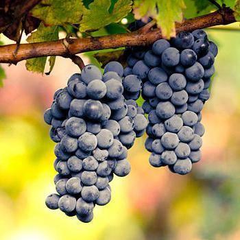 Виноград черный: калорийность, содержание белков, жиров, углеводов