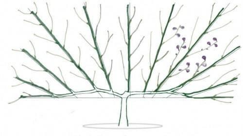 Как формировать крону инжира в осенний период