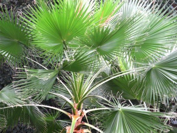 Вашингтония: описание, выращивание и уход за пальмой