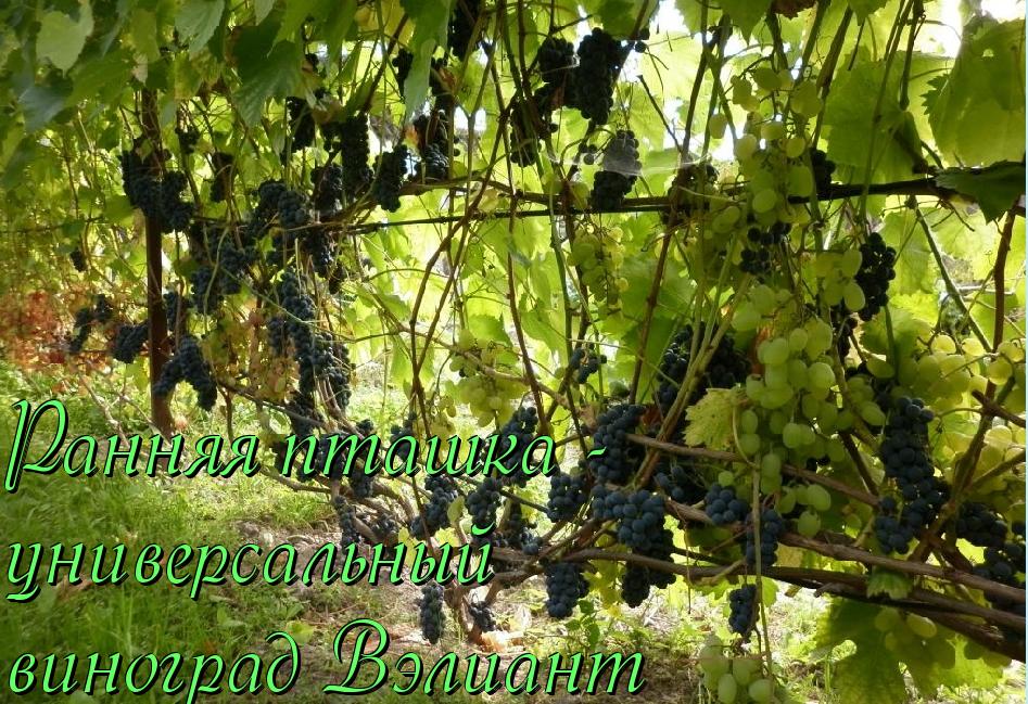 Виноград июль 2020 « виноград « фрукты « блог ильи королева (королевский сад)