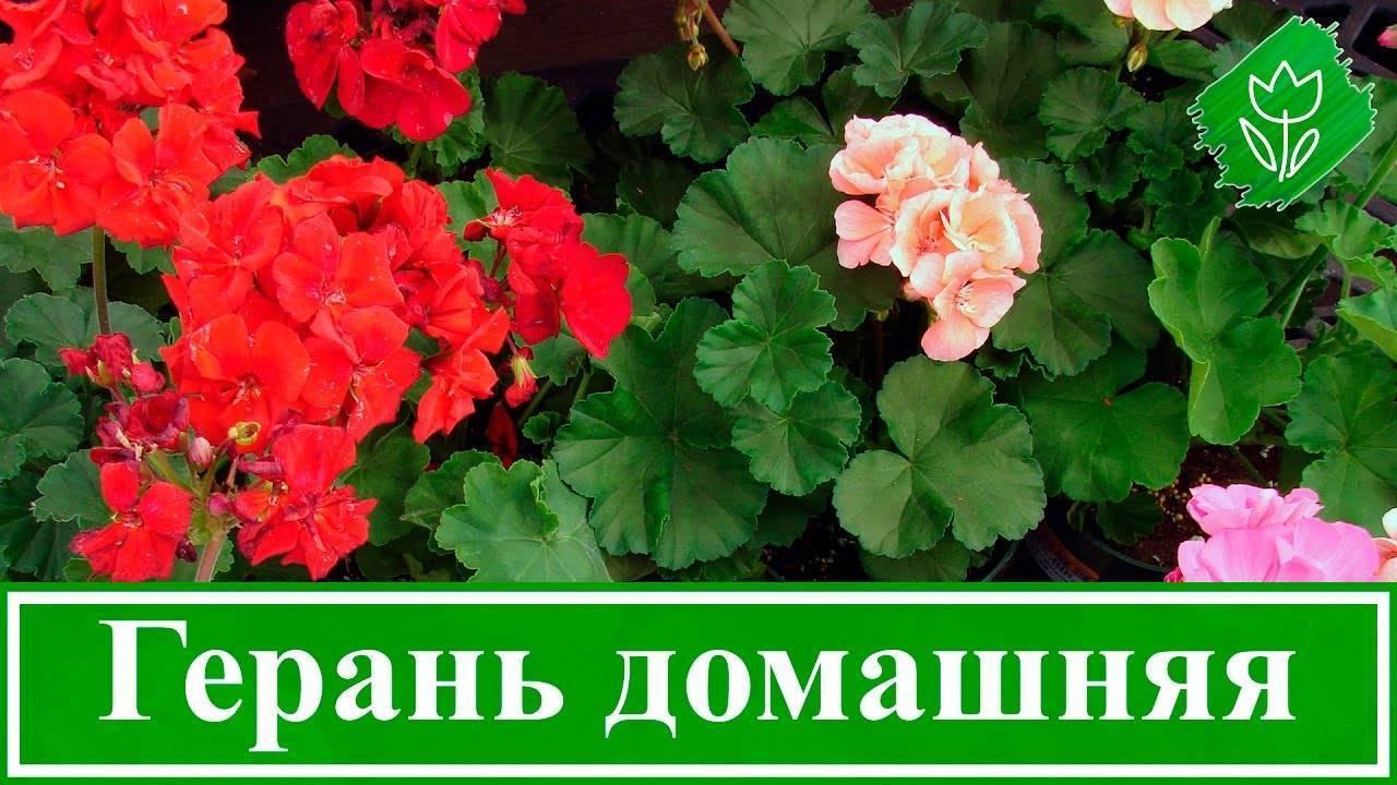 Герань уход selo.guru — интернет портал о сельском хозяйстве