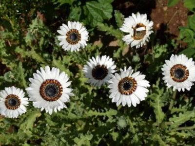 Диасция: описание, фото цветка, выращивание, посадка, уход в открытом грунте