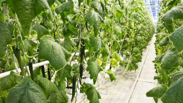 Подкормка огурцов для большого урожая: чем и как удобрять