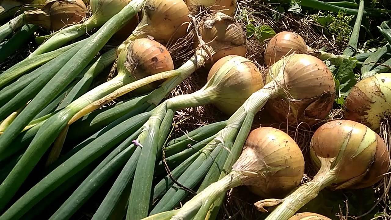 Когда и как убирать лук с грядки на хранение в 2019 году по лунному календарю и подготовить к хранению? |