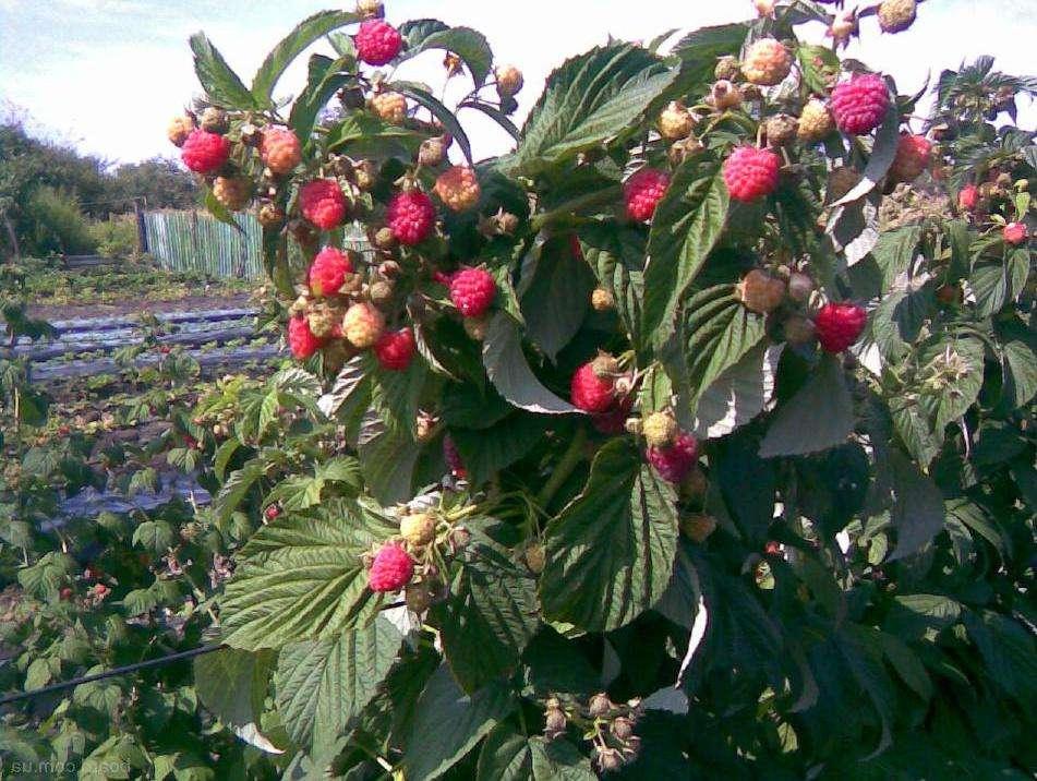 Малиное дерево таруса: описание, посадка и уход, размножение, сбор урожая