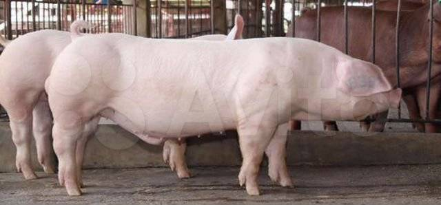 Искусственное оплодотворение свиноматок