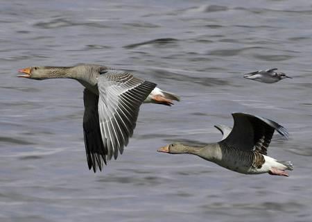 Манные гуси – вчера и сегодня
