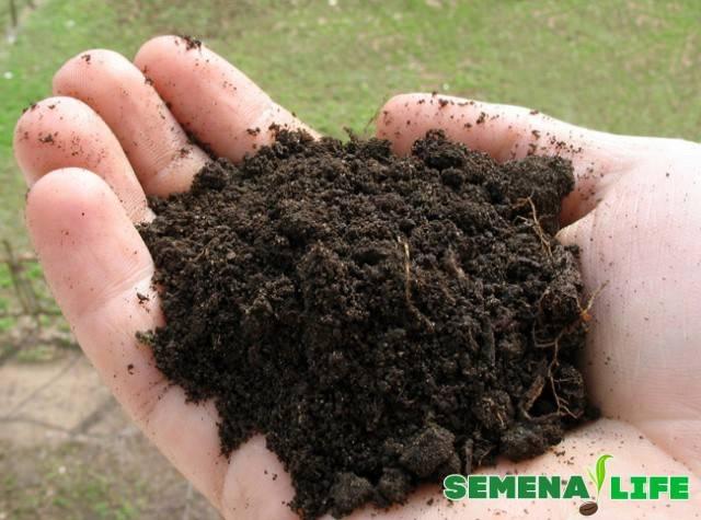 Размножение «мужского счастья» в домашних условиях: выращивание антуриума черенками, листом и семенами