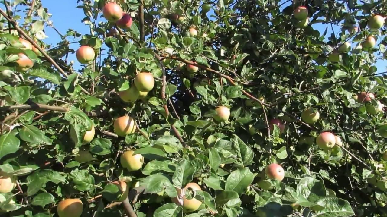 Сорт яблони мельба: его сильные и слабые стороны