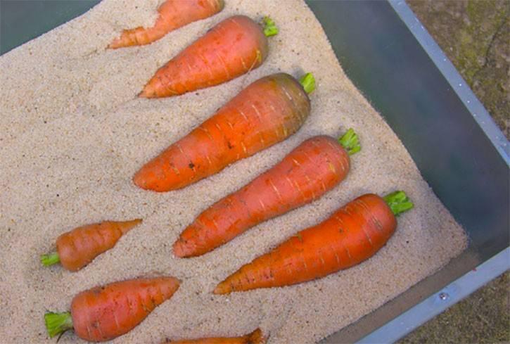 Как хранить морковь зимой в погребе, подвале и подполе