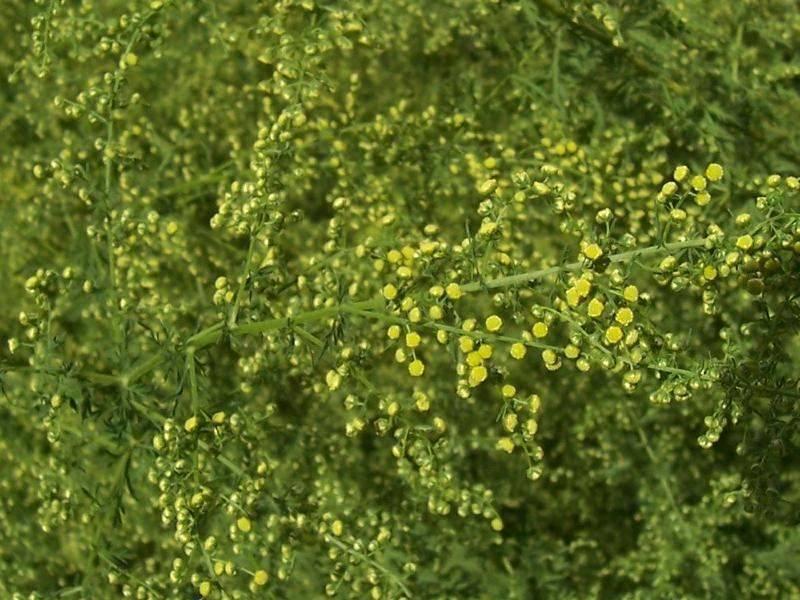 Полынь однолетняя: фото, описание, где растет, применение в медицине - sadovnikam.ru