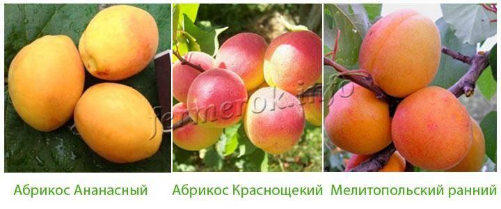 Лучшие сорта зимостойких абрикосов