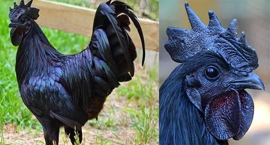 Абсолютно чёрные куры аям цемани: описание породы с фотографиями