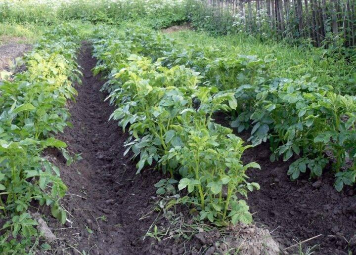 Описание окучивания картофеля веерным способом: пошаговая инструкция