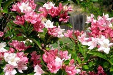 Вейгела: выращивание, посадка и уход в саду