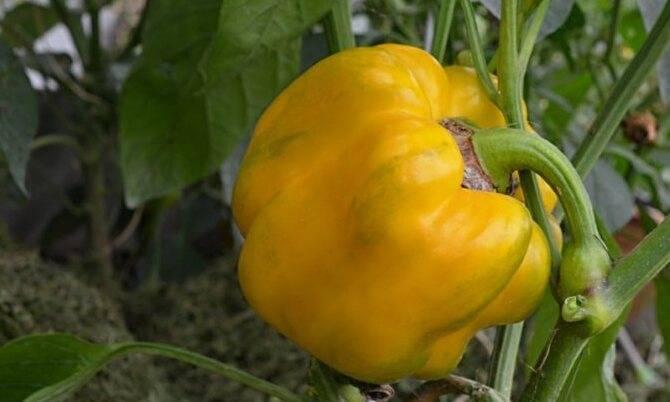 Посев перца на рассаду в 2021 году на урале по лунному календарю