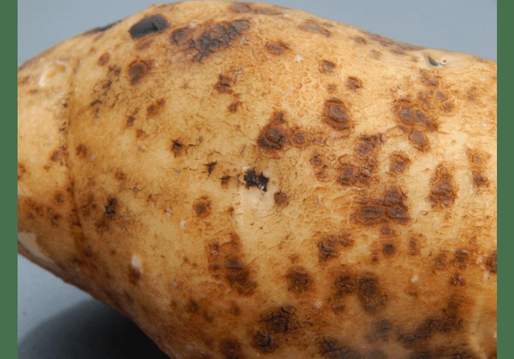 Как бороться с паршей на картофеле и как лечить от нее землю?