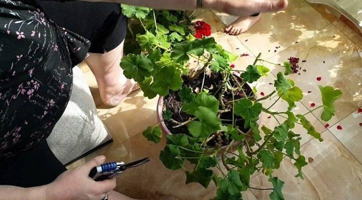 Как обрезать герань весной и чем подкормить для пышного цветения