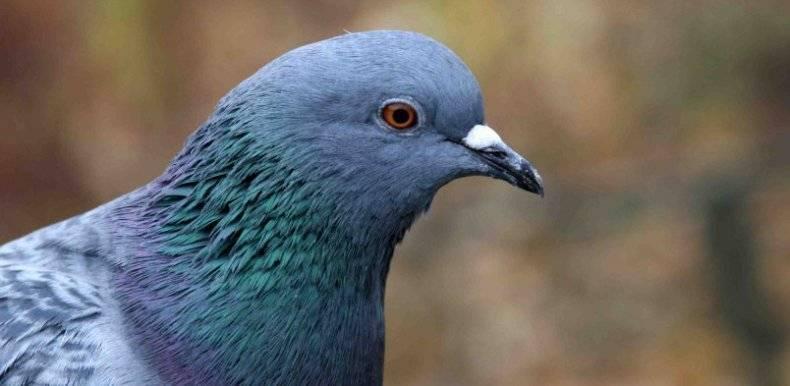 Способы отличения голубя от голубки