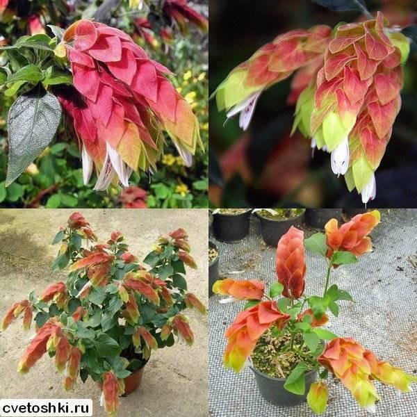 Белопероне – что любит цветок и как за ним ухаживать?