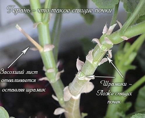 Обрезка герани для пышного цветения — весной и осенью, схема