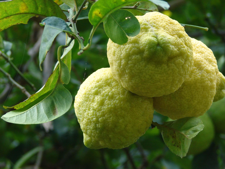 Комнатный лимон. перечень и описание комнатных сортов.