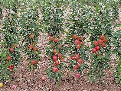 Сорта колоновидных яблонь для ленинградской области