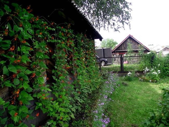 Вьющаяся фасоль — посадка в качестве овоща или декоративного сорта, которое создает живые изгороди
