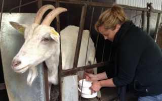 Как правильно запустить козу перед окотом и за сколько: лайфхаки и проблемы