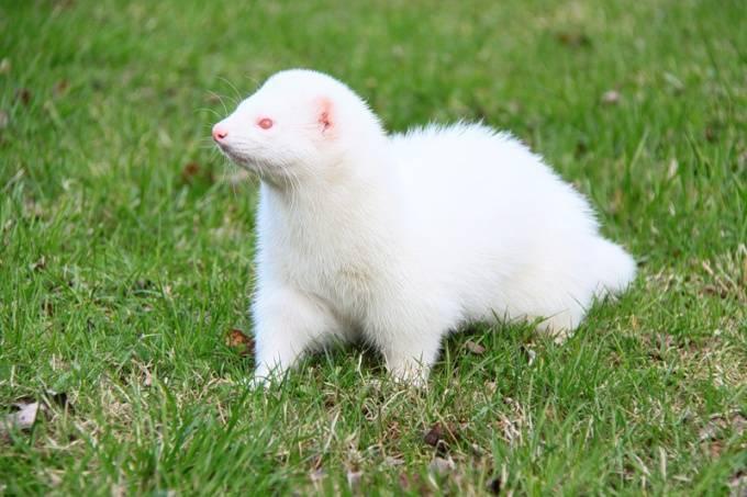 Белый домашний хорек (альбинос): описание породы — selok.info