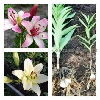 Как хранить лилии зимой в домашних условиях? как сохранить луковицы лилий до весны