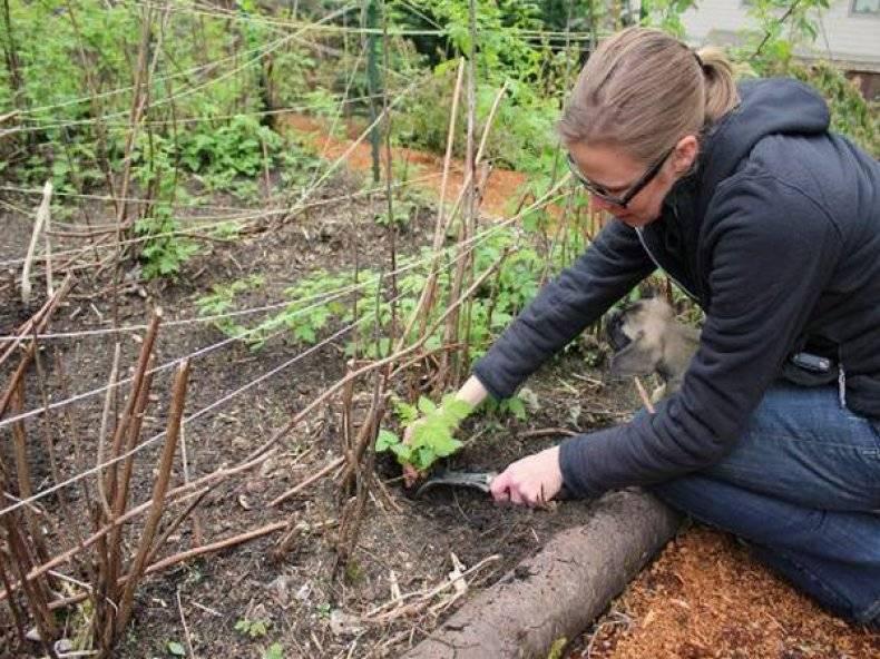 Как пересадить малину на новое место осенью - основные моменты