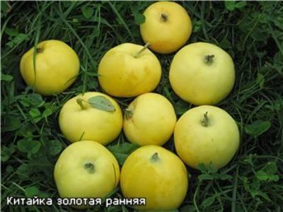 Яблоня китайка золотая: описание и условия выращивания