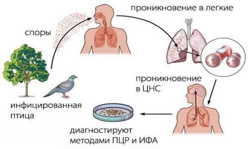 Орнитоз у голубей: симптомы и лечение, профилактика
