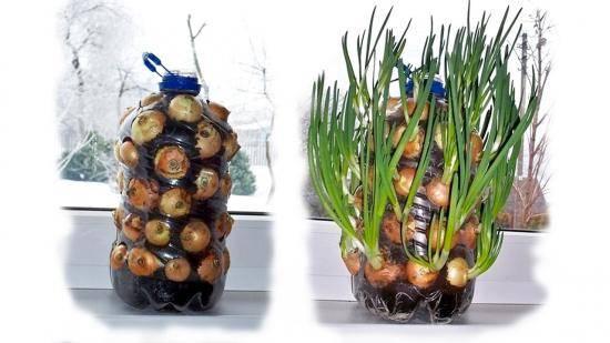 Выращиваем лук из семян за один сезон!