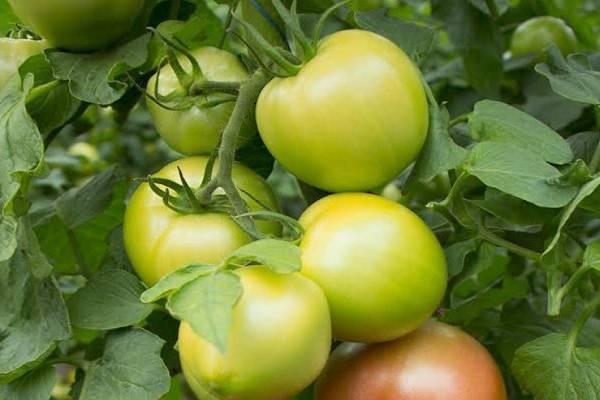 Томат кибо: описание, выращивание, уход и фото