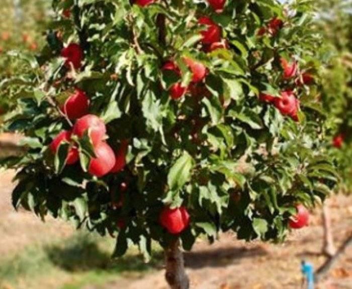 Карликовые плодовые деревья — dizainlandshafta.ru