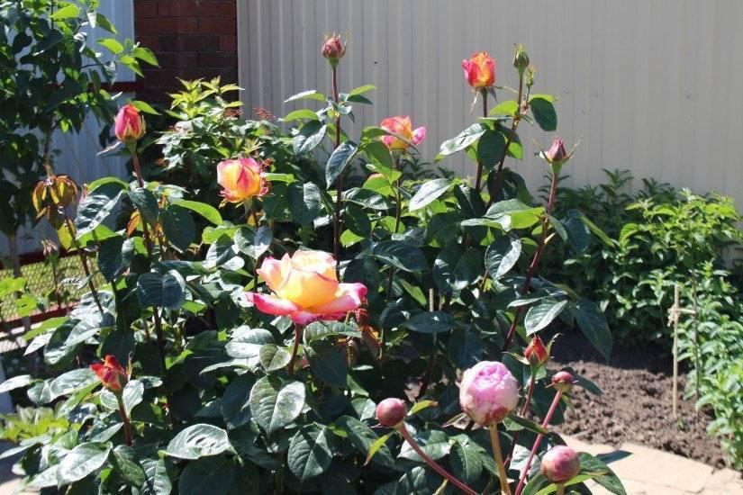 Посадка и уход за розой глория дей (gloria dei), проблемы выращивания + описание и фото цветка, применение в ландшафте