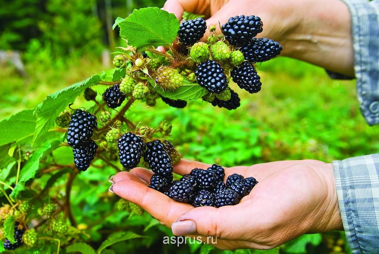 Ежевика лох тей: описание сорта, фотографии и отзывы садоводов