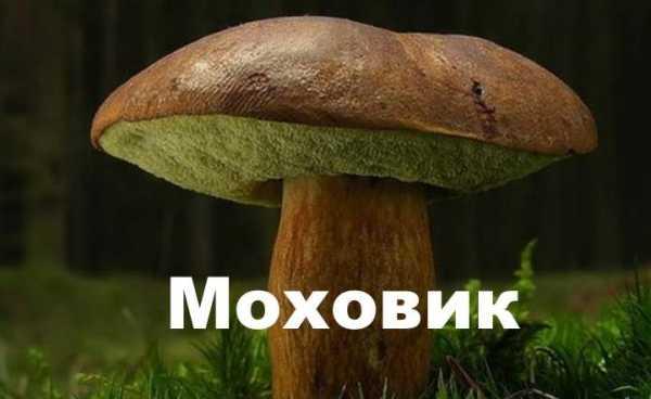 Моховик - 72 фото основных видов съедобного трубчатого гриба