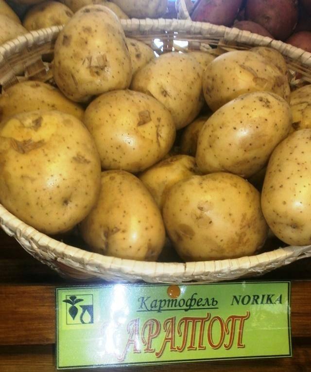 Картофель «каратоп» описание сорта, фото, отзывы