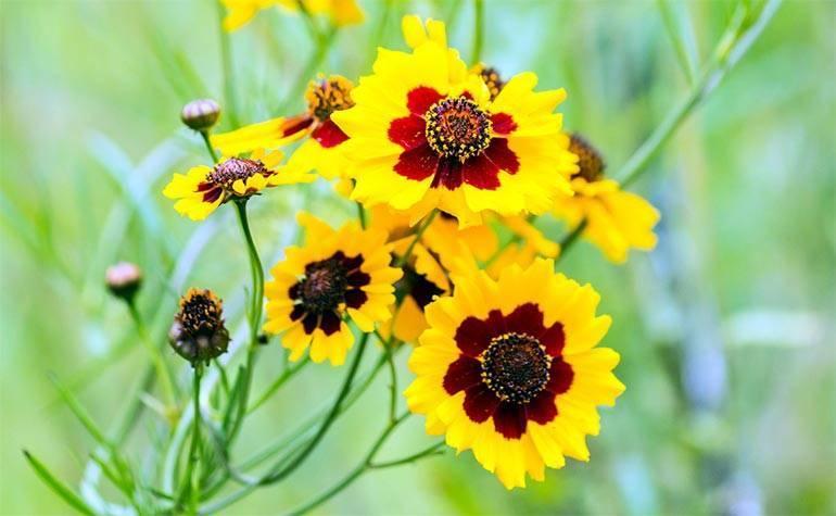 ᐉ цветок кореопсис: посадка и уход в открытом грунте, фото, выращивание из семян - roza-zanoza.ru