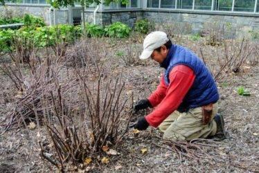 Правила ухода за крыжовником осенью – подготовка к зимовке