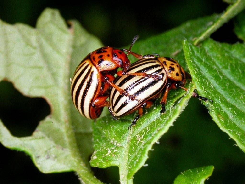 Колорадский жук: способы борьбы