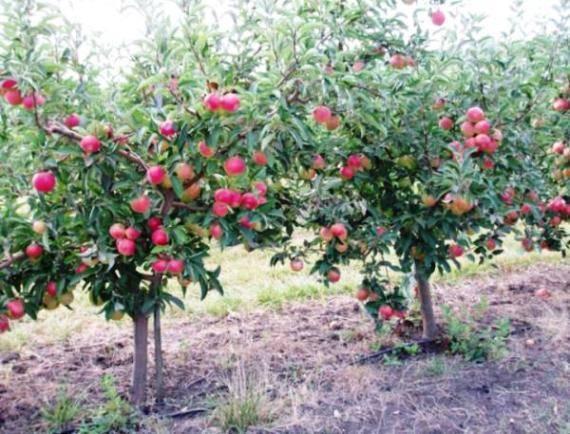 Яблоня флорина: описание, фото, отзывы садоводов, посадка