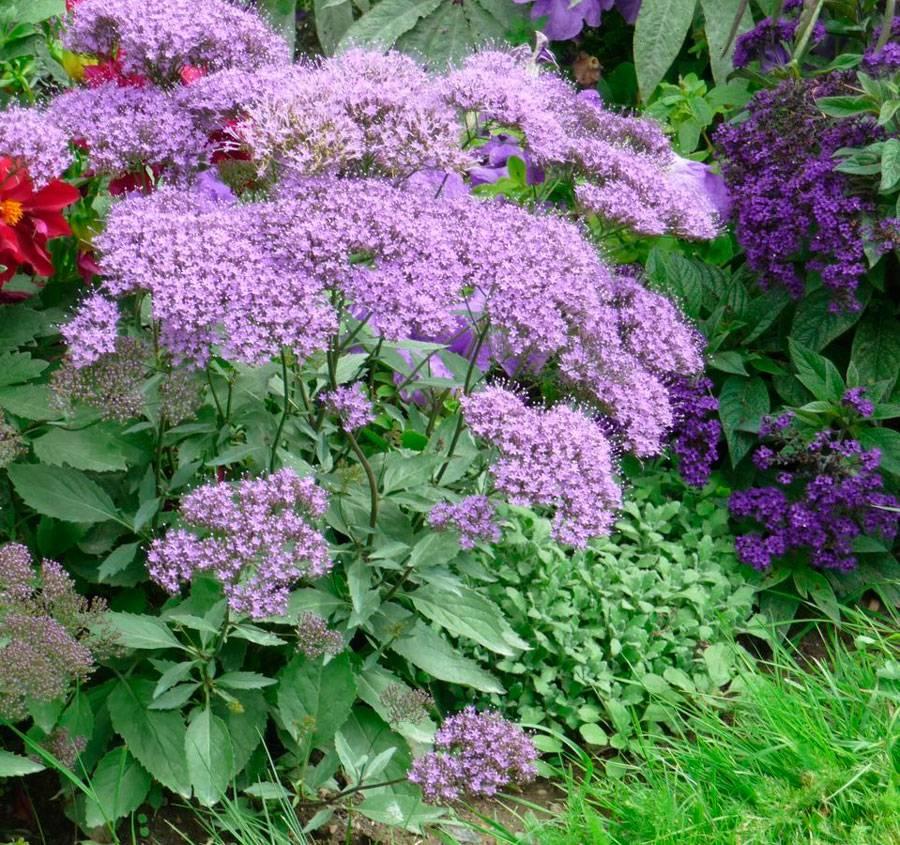 Лихнис: фото, описание видов, сортов многолетнего цветка, выращивание, посадка и уход в открытом грунте