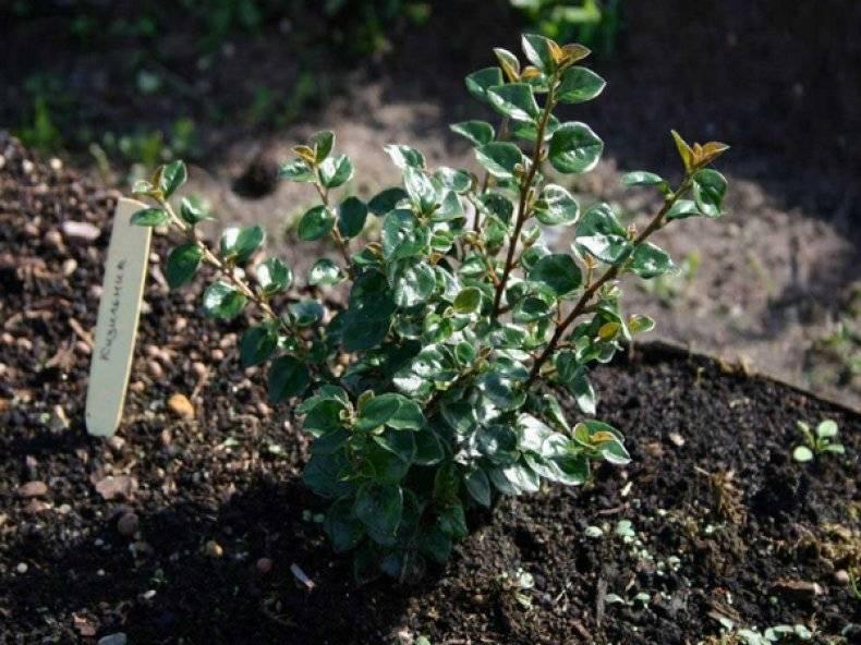Выращивание в саду кизильника горизонтального: посадка и уход, размножение растения